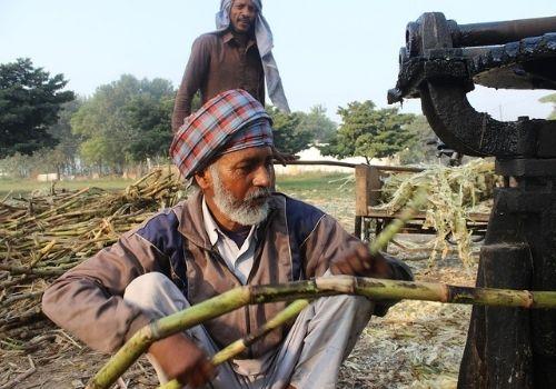 A farmer working at a sugarcane farm